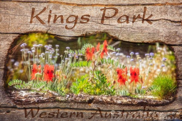 Sturt's Desert Pea, Kings Park, Perth, Western Australia - Photographic Art on Wood