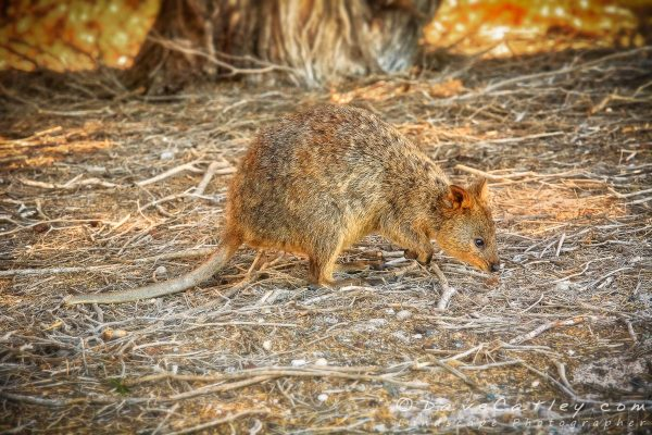 Sunset Quokka, Rottnest Island, Perth, Western Australia - Photographic Art