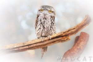 Max the Tawny Frogmouth, Native Animal Rescue, Perth, Western Australia - Photographic Art