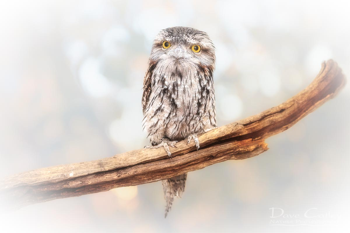 Max - Tawny Frogmouth, Native Animal Rescue, Perth, Western Australia, Wildlife Print (NAR1.2-V1-TH1)