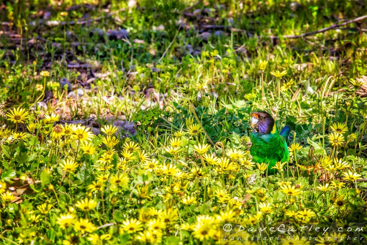 Photos – Twenty-Eight Parrot in the Daisies at Whiteman Park