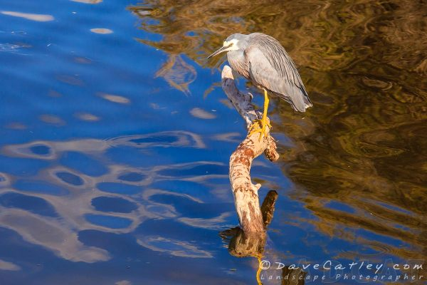 White-Faced Heron, Lake Joondalup, Perth, Western Australia - Photographic Art